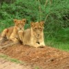 More photos from the game drive at Murchison Falls