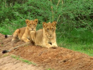 1 1/2 year old lion cubs at Murchison Falls in Uganda
