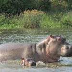 Volunteer in Uganda and see hippos on the Nile River.